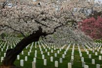 Spring Flowering Trees Arlington National Cemetery