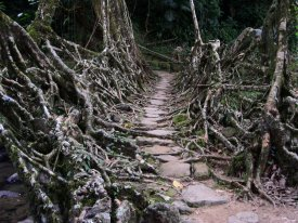 Living Bridges of Cherrapunji, India III