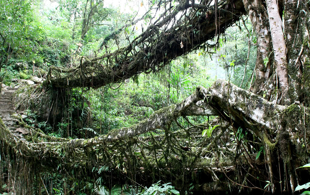 Cherrapunji India  city photos gallery : Living Bridges of Cherrapunji, India IV | Sarvodaya