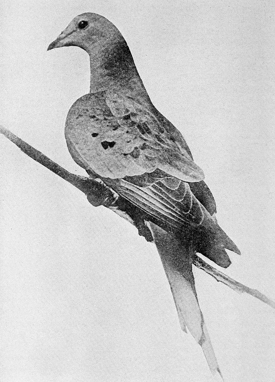 800px-martha_last_passenger_pigeon_1914